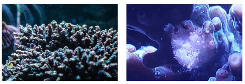 artificially incubating coral