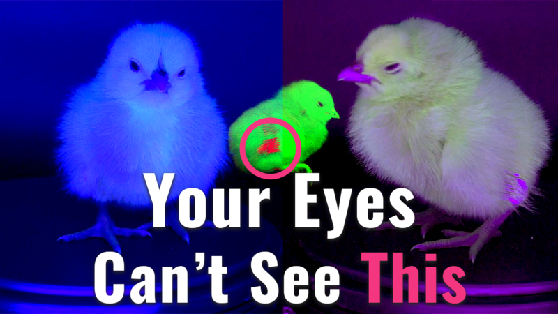 The AI Uncovering the Invisible Secret in Baby Chicks